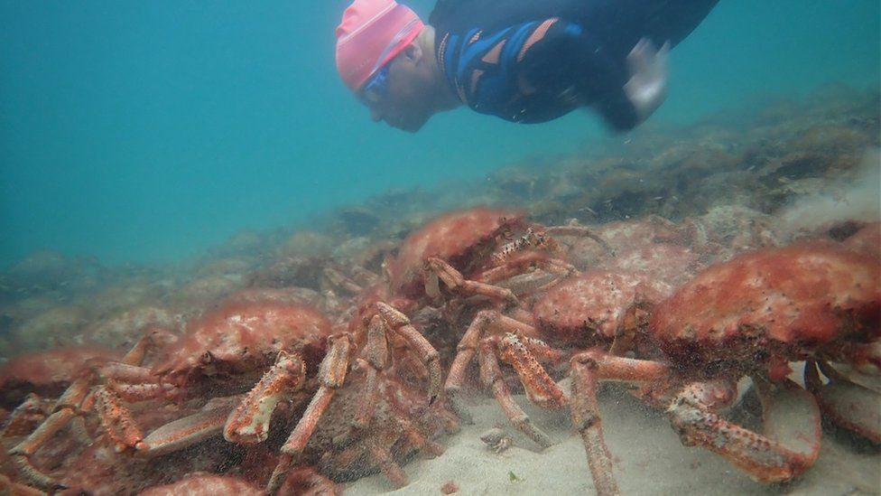 'Incredible' mass gathering of spider crabs in Falmouth